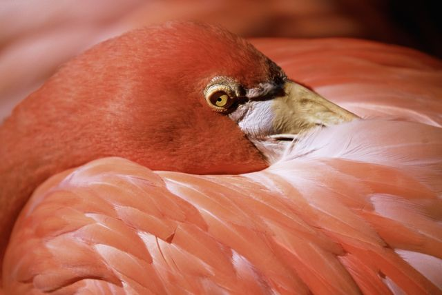 Close-up of Pink Flamingo resting head on body in Adastra Gardens and Zoo, New Providence, Bahamas