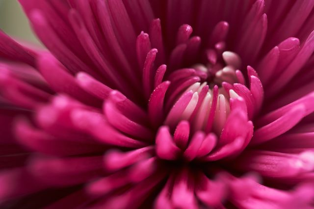 Close-up of colorful chrysanthemum flower
